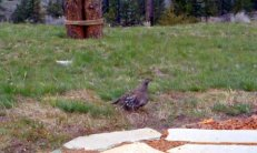 Moderate Blue Grouse Female