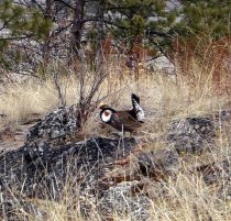 Immoderate Blue Grouse Male
