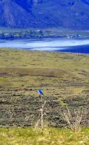 Immoderate Mountain Bluebird Male
