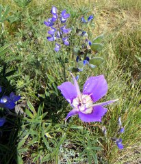 Mariposa lily with lupine