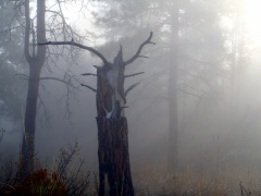 Fog illuminating snag with deer skull