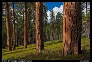 Ponderosa pine forest. Kings Canyon National Park, California, USA.