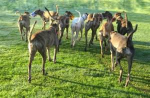 Greyhound pack