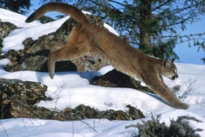 Mountain lion in snow young