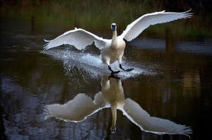 Trumpeter swan by Brian Stevens