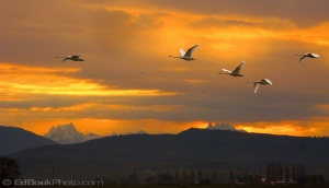 Trumpeter Swans fly through morning light streaming through clouds to silhouette Whitehorse mountain
