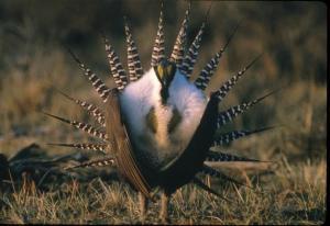 Okanogan Highland Grouse - Male