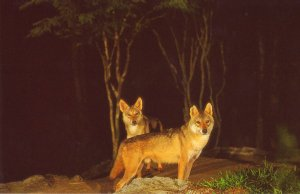 Nocturnal Indian wolf