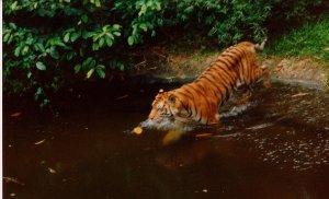 Tiger by night