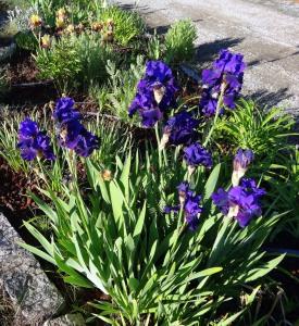 Velvety purples