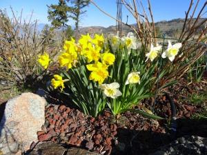 Narcissus joy