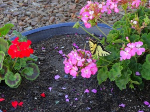 Viceroy butterfly meets geranium