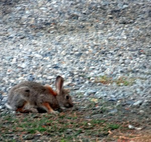 Bunny grazing on groundcover in our driveway