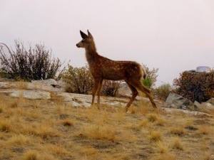 Fawn with smoke in background