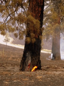 Pines burning from the inside out